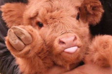 16-cows-that-are-too-friggin-cute-for-words-2-7719-1512405276-1_dblbig.jpg