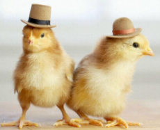 chicks-in-hats.jpg