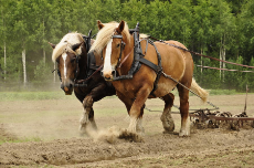 working-horse-conny-sjostrom.jpg