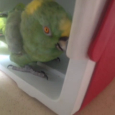 laughing parrot.mp4
