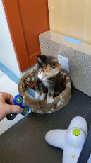 Kitty Fascinated by Fidget Spinner.mp4