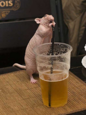 standing naked rat drinking beer from a straw during a garden party.jpg