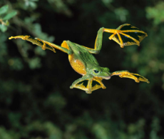 Wallaces-Flying-Frog.jpg