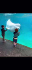 Kid Meets a Beluga Whale at Mystic Aquarium.mp4